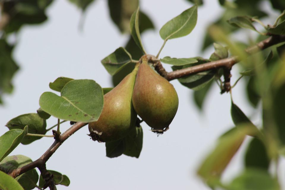 Immobilienmakler Ribbeck: Der Birnbaum zu Ribbeck